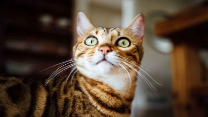 Alasan-Kucing-Suka-Menatap-ke-Dinding